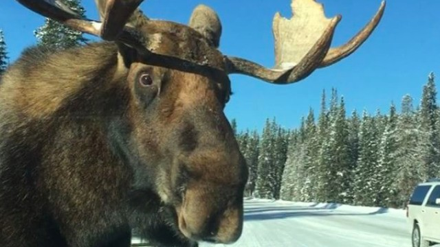 Quintessentially Canadian video shows peckish moose licking salt off car