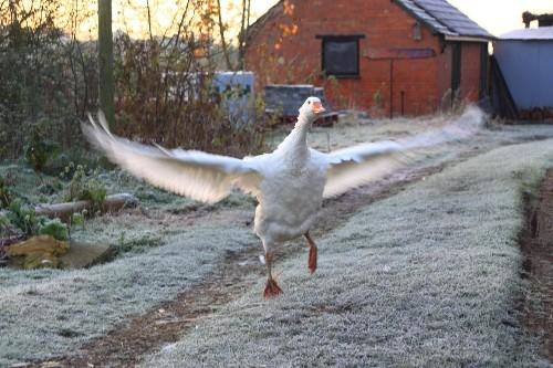 Meet Cuthbert, the goose that laid the golden TikTok