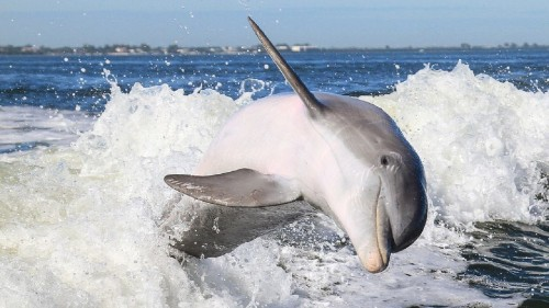 Just Like Humans, Bottlenose Dolphins Also Tend To Be Right-handed, Reveals Study - Science