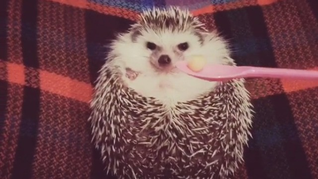 Hangry little hedgehog will only cheer up if you give him treats