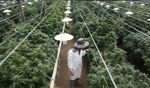 Malaysia can be the world's biggest marijuana producer. Here's how. - Culture