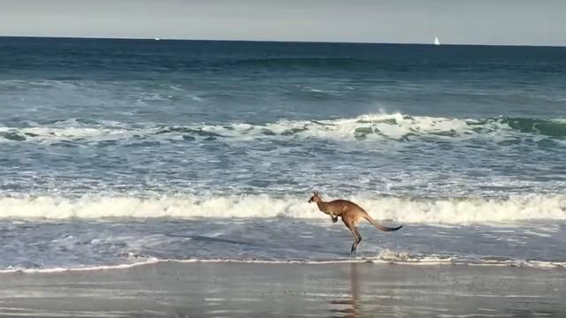 Kangaroo majestically gliding across the beach is strangely calming
