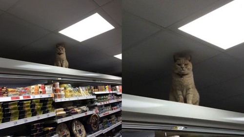 Badass cat is now the undisputed owner of this British supermarket