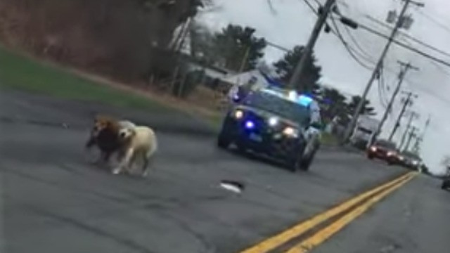 Dog pals take a breezy stroll in the road and end up with a police escort