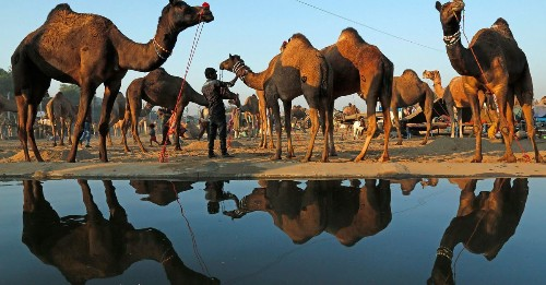 11,000 camels gather in the desert for an annual fair