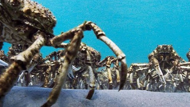 Army of spider crabs marching is a freaky, but amazing sight