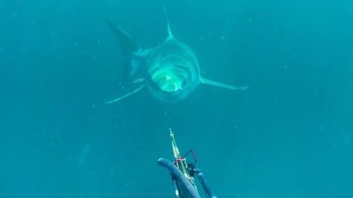 Fisherman meets huge great white shark, pokes it in the head