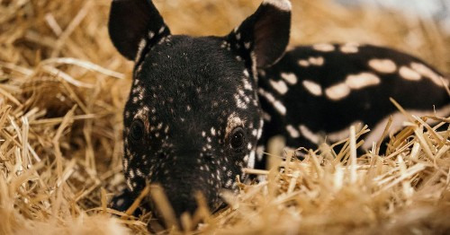 Everything sucks, but then there's this adorable, rare newborn Malayan tapir