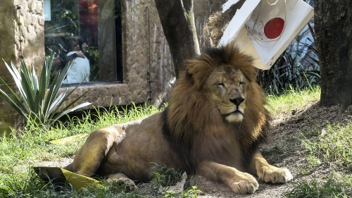Lions are not impressed with Japan zoo's mock lion escape drill, but we are