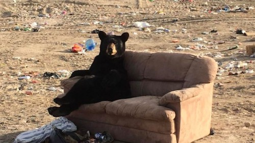 Bear chills out on garbage dump's couch after a long day