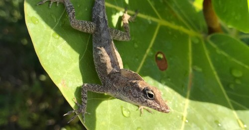 How a population of lizards was forever changed by 2017's extreme hurricane season