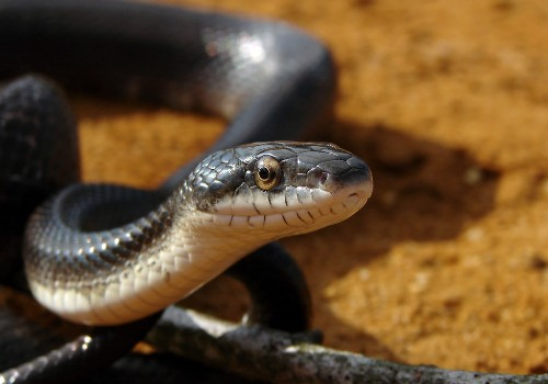 Saudi students panic when snake slithers out of girl's bag