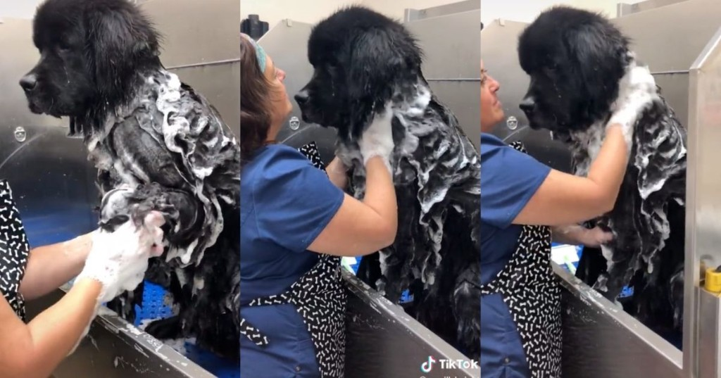 Bask in the glory of this enormous dog getting a bath