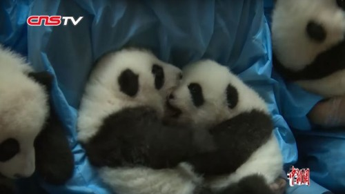 Six sets of baby panda twins just made their public debut in China