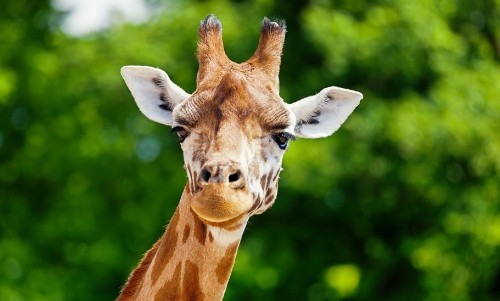 Thane-Based Conservationist Identifies Giraffe Subspecies And Tracks Their Genetics