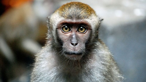 Monkeys with human brain genes have been created by scientists - Science