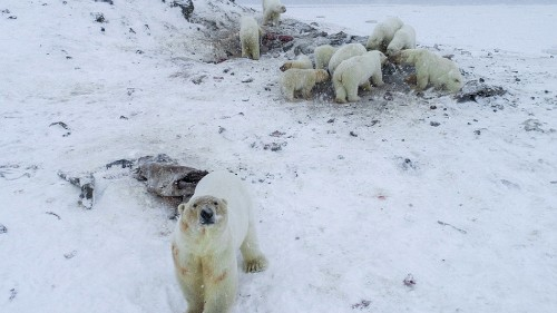 61 polar bears amass outside Arctic village because sea ice is pitifully low