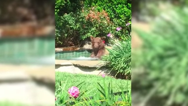 Chill California bear enjoys margarita and nice relaxing soak in hot tub