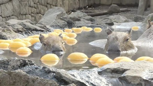 The only good part about winter are these capybaras in a yuzu bath
