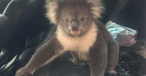 Man returns to his car to find a koala chilling in air-conditioned comfort