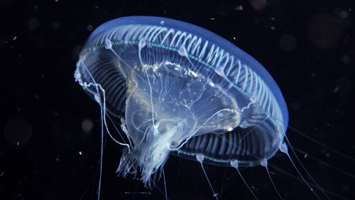 NASA Has Been Breeding Jellyfish in Space for 20 Years