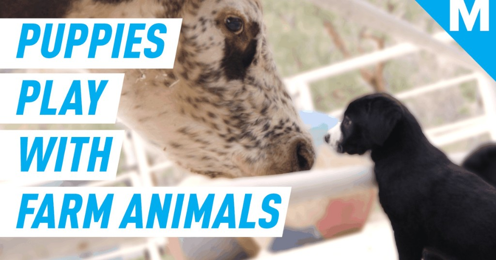 These puppies had an adorable playdate with rescued farm animals