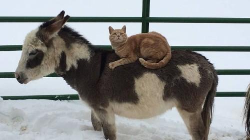 Teton the orange cat is an excellent horseback rider