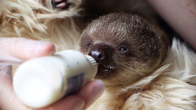 11 GIFs that prove Edward the baby sloth is the cutest thing you'll see today