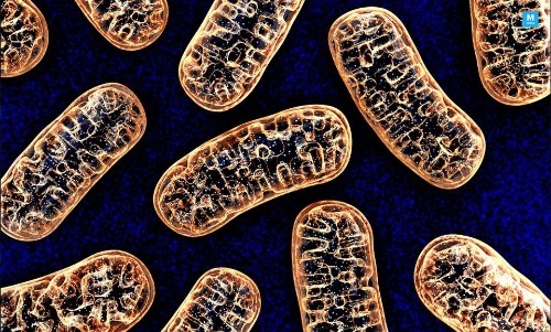 Mitochondrial Aging Theory Is A Myth: Aging Lies In The Nucleus - Science
