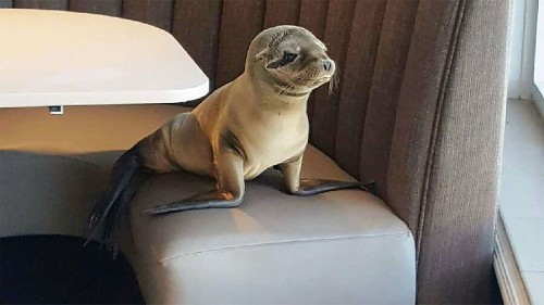 Starving baby sea lion that wandered into restaurant now waddles back to sea