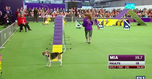 Distracted beagle wins everyone's heart at Westminster Dog Show