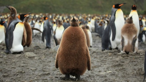 Warming Antarctic may force over 1 million King Penguins to find new homes or perish