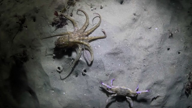 Intense battle between an octopus and crab ends with a surprise