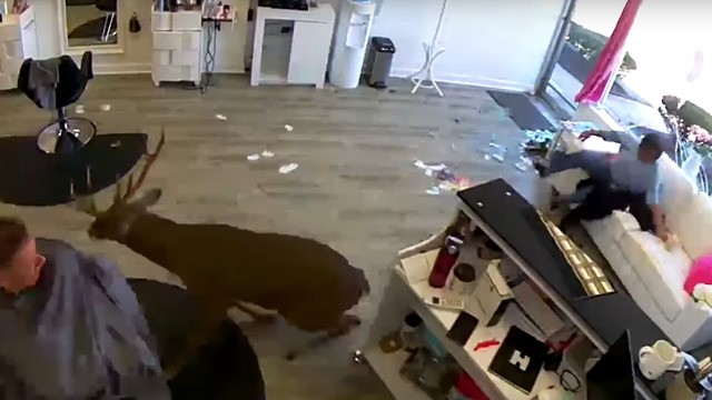 Dramatic video shows deer jumping through window and wreaking havoc in a salon