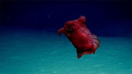 'Headless chicken monster' caught on camera off East Antarctica