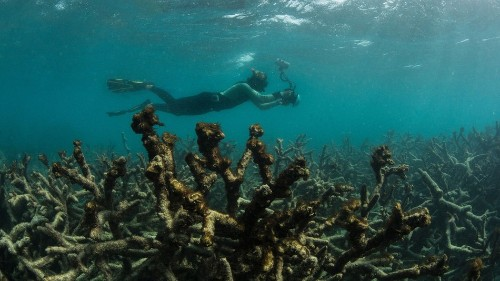 Global coral bleaching event to hit U.S. hard, with no end in sight, scientists warn