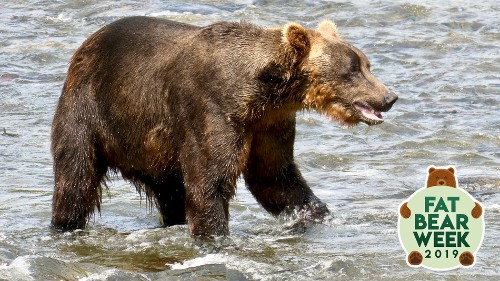 The stunning survival story of fat Bear 503