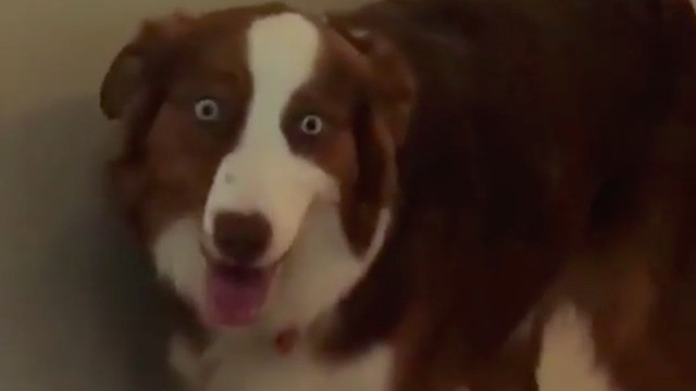 Beautiful Australian Shepherd is high as a kite and doesn't care about anything