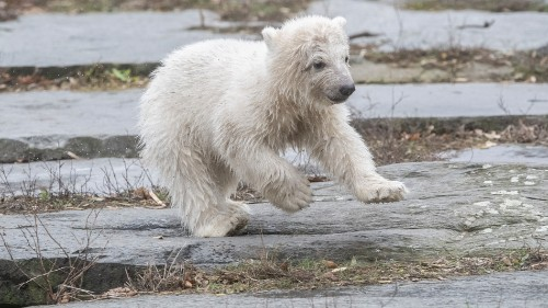 Berlin zoo's new polar bear is the adorable ray of light we need