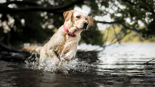 Labrador Retriever named the best doggo
