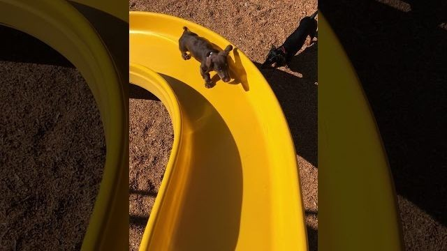 Cute wiener pup's climb up a slide is definitely not a giant metaphor