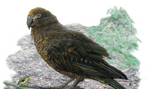 Fossil Of The Largest-Ever Parrot Unearthed In New Zealand