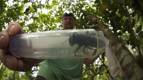 The world's largest bee has been rediscovered, and it's HUGE
