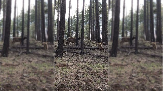 Badass mama elk saves her young from a bear