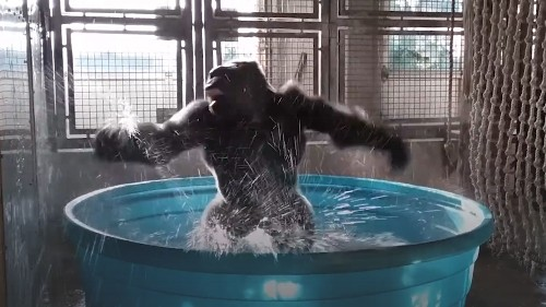 Watch this gorilla dance like it's nobody's business