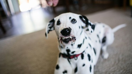 It took this Dalmatian three years to learn to smile so please appreciate it