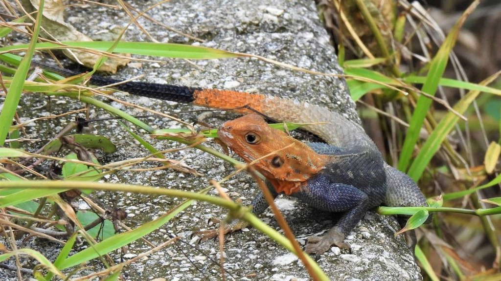 Another invasive spreads in Florida: A red-headed lizard with an appetite for butterflies