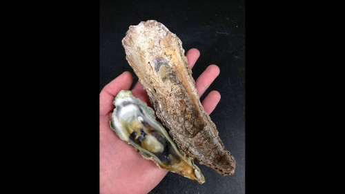 Florida oysters are a lot smaller than they used to be. Climate change may be the reason