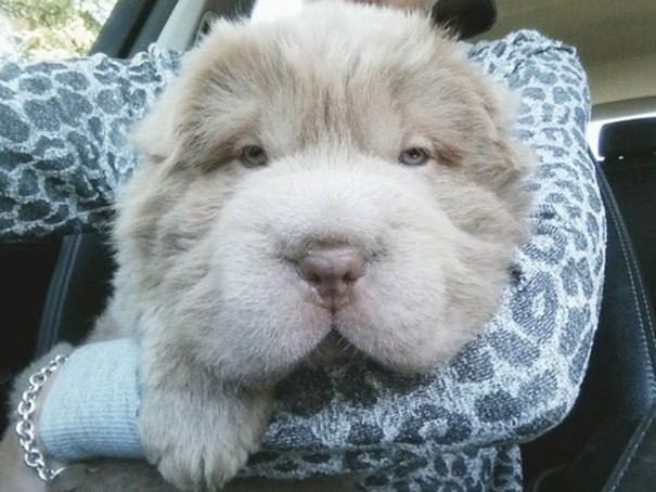 Adorable Shar-Pei Puppy Looks Like a Cuddly Teddy Bear