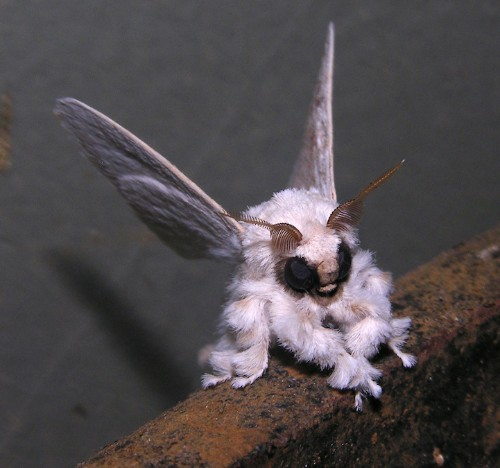 Mysterious Poodle Moth Looks Like a Real-Life Fairy